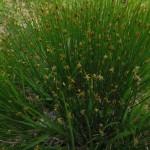 Tricophorum caespitosum (J. Goñi)