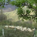 Ovejas entre la plantación