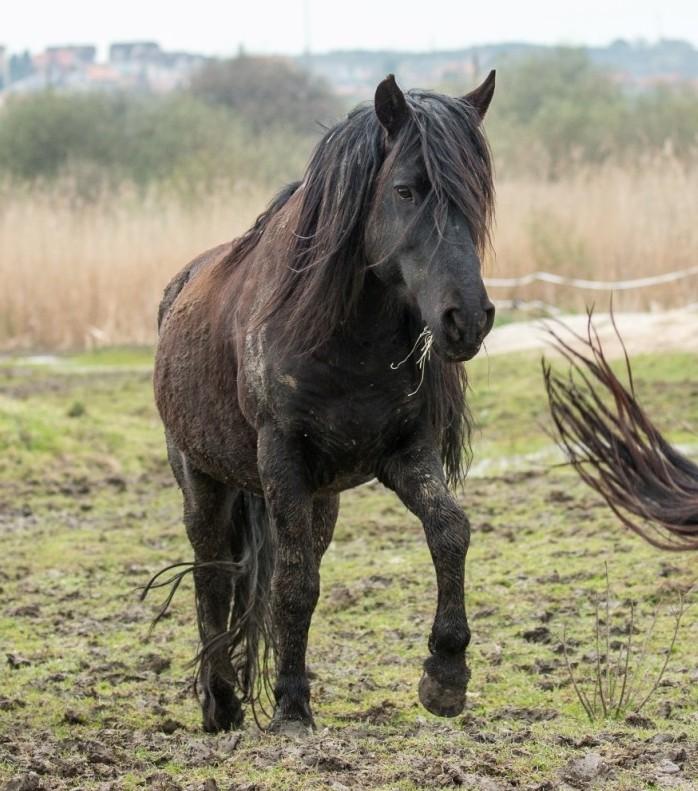 Semental de caballo losino en la Marisma de Alday