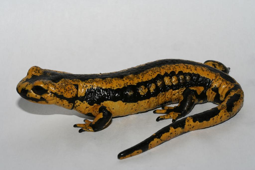 Salamandra con heridas causadas por el hongo Batrachochytrium salamandrivorans