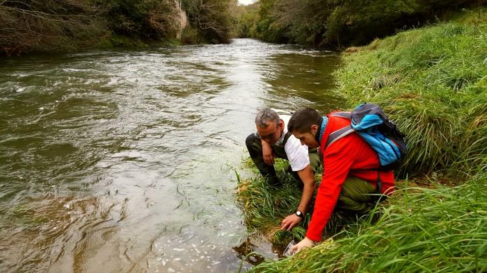 El viaje de la anguila europea ahora sigue en libertad por el río Miera