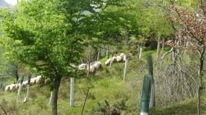 Rebaño de oveja carranzana paciendo entre el arbolado