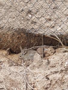 Cercón de conejos de montes
