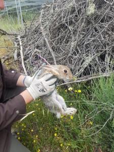 Conejo de montes